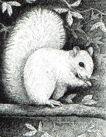 White Squirrel, Brevard NC's most popular residents